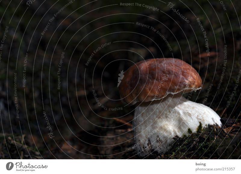 qwertz Pflanze Wachstum einzeln Pilz Moos Waldboden Pilzhut Naturwuchs Steinpilze Dickröhrling