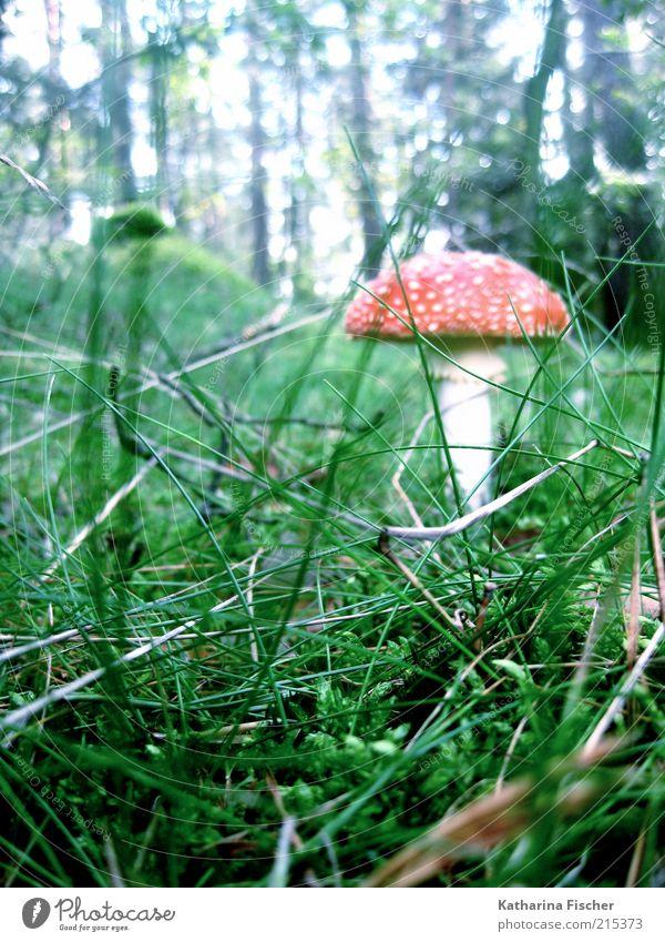 Fliegenpilz Natur Pflanze grün weiß Baum rot Landschaft Blatt Wald Umwelt Wiese Herbst Gras Wetter Sträucher Pilz