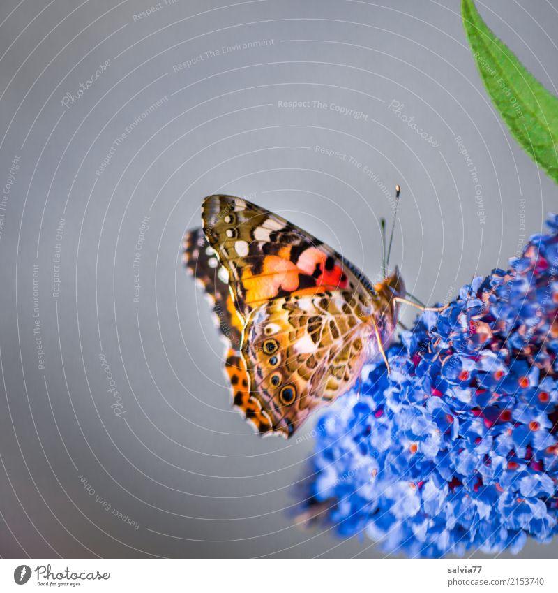 Genießer Natur Sommer blau Blume Tier Blüte Glück Garten grau orange Zufriedenheit genießen süß Flügel Wohlgefühl Insekt
