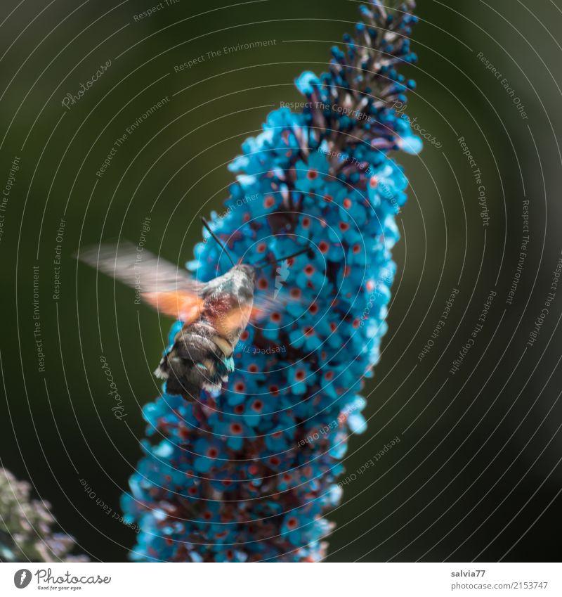 blaue Zapfsäule Natur Sommer Pflanze Baum Sträucher Blüte Sommerflieder Garten Tier Schmetterling Flügel Insekt Schwärmerei 1 fliegen trinken Duft lecker