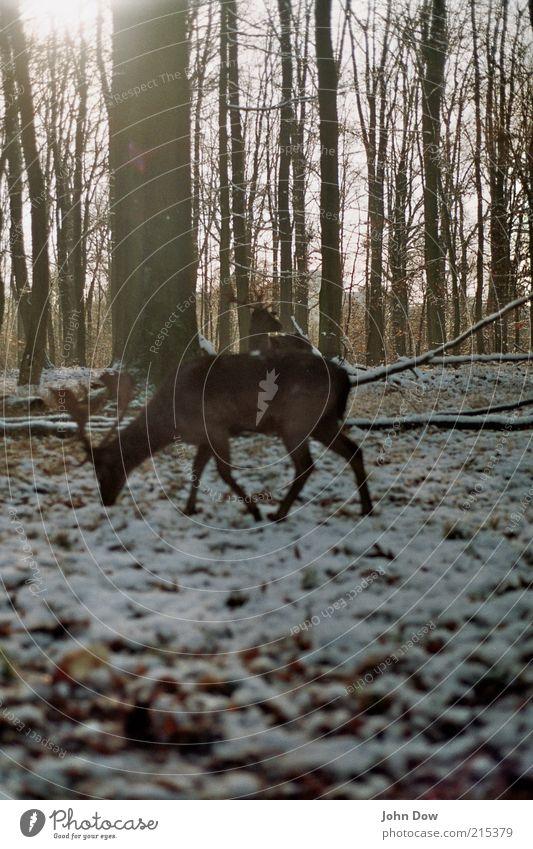 Analoger Wildfang Baum Tier ruhig Winter Wald Schnee Freiheit Wildtier frei Ast Jagd Baumstamm Horn Fressen Schneelandschaft Geäst