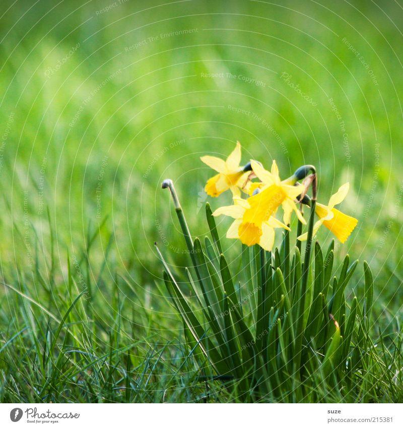 Ein Haufen Narzissten Natur Pflanze Frühling Blume Blüte Wiese gelb grün Narzissen Frühblüher März April Blühend Frühlingsblume Gelbe Narzisse Farbfoto