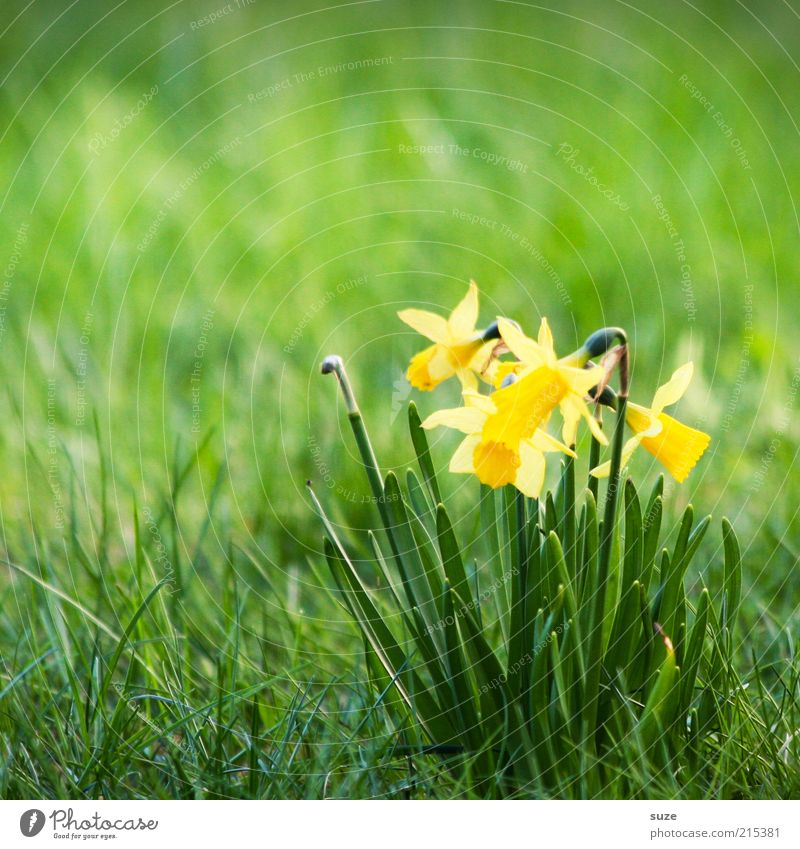 Ein Haufen Narzissten Natur Pflanze grün Blume gelb Wiese Frühling Blüte Blühend April März Frühlingsblume Narzissen Frühblüher Gelbe Narzisse