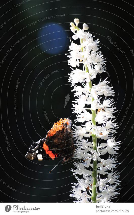 Jawoll, Herr Admiral! Natur schön Pflanze Sommer Tier Wetter sitzen Wildtier Flügel Insekt leuchten Schmetterling Schönes Wetter Wildpflanze Admiral