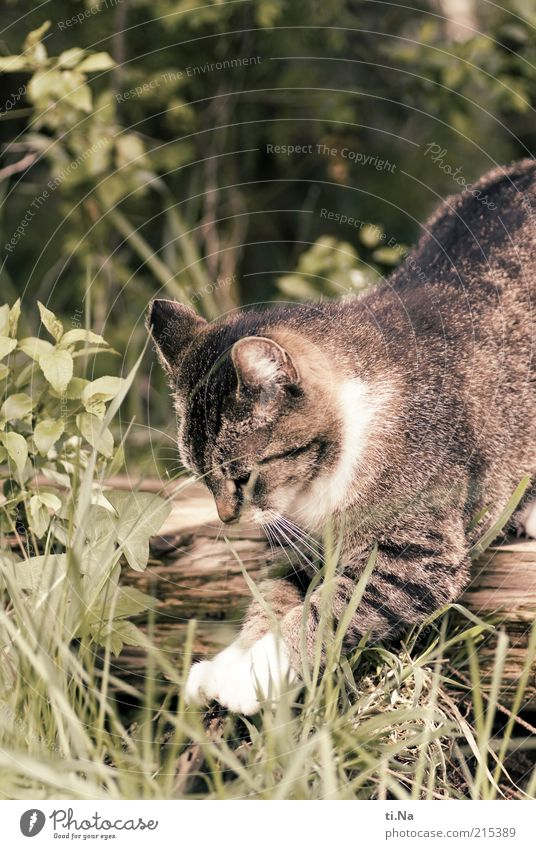 200mal Krallen schärfen schön Tier Gras Bewegung Katze fangen Jagd Pfote Haustier Katzenpfote