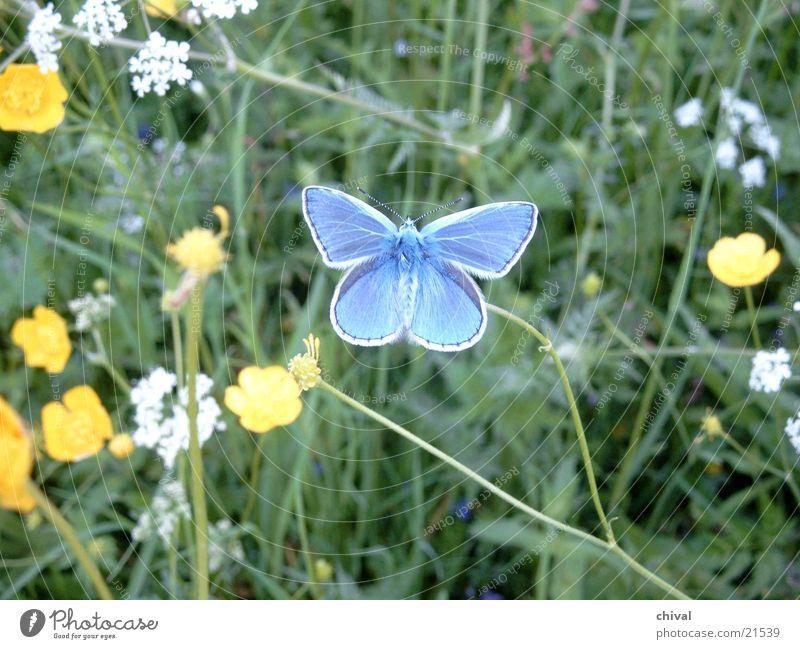 Bläuling Wiese Schmetterling Blütenschmetterling