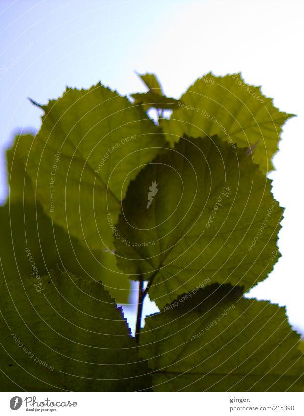 **200 x blättern** Natur Pflanze Blatt grün durchscheinend Himmel Menschenleer Farbfoto Gedeckte Farben Außenaufnahme Detailaufnahme Muster Strukturen & Formen
