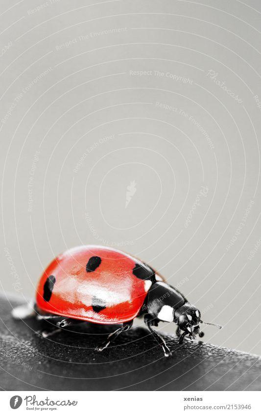Marienkäfer Eduard Natur Frühling Sommer Garten Park Wiese Wildtier Käfer 1 Tier glänzend klein grau rot schwarz weiß Frieden Glück Punkt Hintergrundbild
