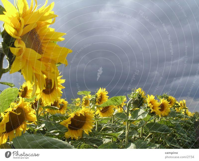 Sunflower&Clouds Wolken Stimmung Feld Wind Landwirtschaft Sonnenblume Blume