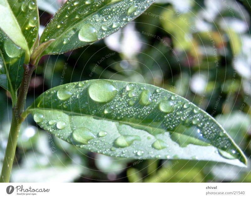 Regenblatt Sommer Blatt Garten frisch
