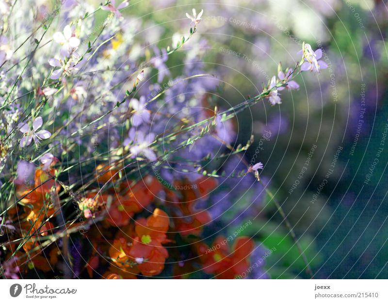 Blütenmix Pflanze Blume schön grün violett rot Blumenbeet mehrfarbig Schönes Wetter Farbfoto Außenaufnahme Nahaufnahme Schwache Tiefenschärfe Menschenleer Tag