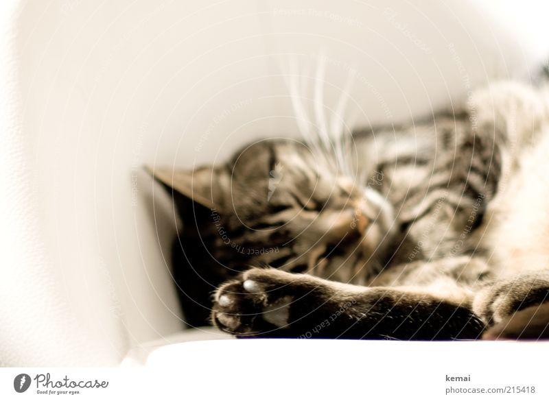 Dornröschen weiß ruhig Tier Katze schlafen Tiergesicht liegen Fell Müdigkeit niedlich Pfote Geborgenheit Haustier ungestört geschlossene Augen Krallen
