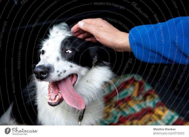 Brav Mensch Arme Hand Finger Tier Haustier Hund 1 ästhetisch Freundlichkeit Wärme Collie Hundeblick Müdigkeit Zunge Streicheln Liebe Zuneigung Freundschaft
