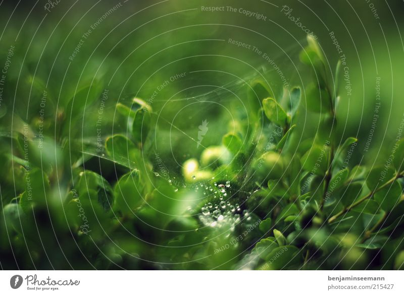 tropfen Natur Wassertropfen Pflanze Sträucher grün schwarz Spinnennetz Grünpflanze Licht Farbfoto Außenaufnahme Detailaufnahme Makroaufnahme Menschenleer