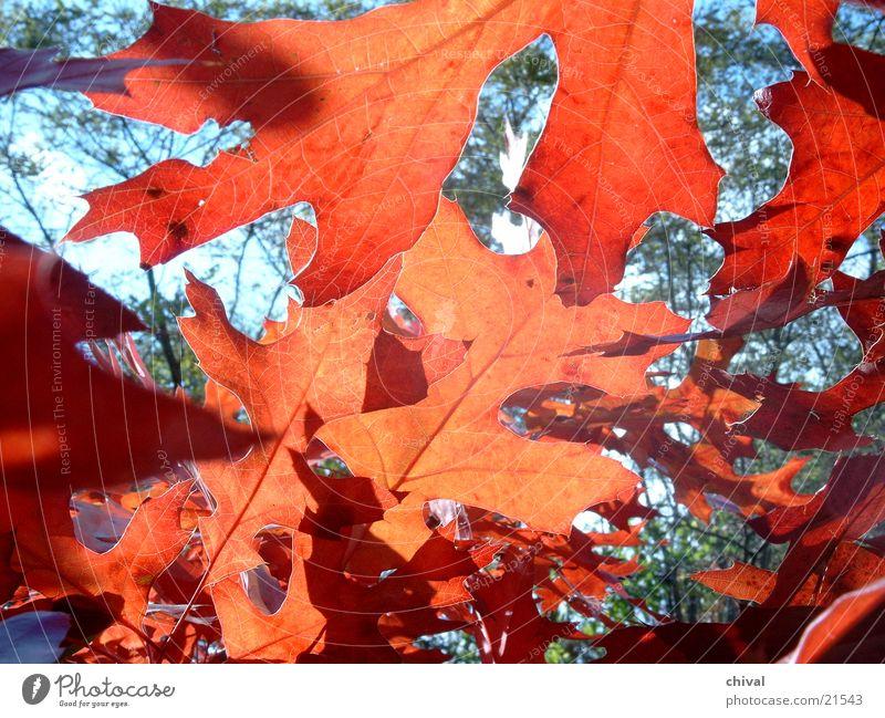 Herbst rot Blatt Herbstlaub Indian Summer