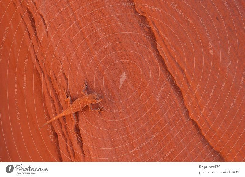 entdeckt Felsen Tier braun Salamander orange getarnt Tarnung Gecko Warme Farbe Farbfoto Außenaufnahme Tag Menschenleer Totale Nahaufnahme Stein Natur