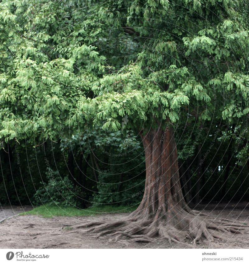 Baum Umwelt Natur Blatt Baumstamm Baumkrone alt grün Kraft standhaft Wurzel Wurzelbildung Farbfoto Außenaufnahme Menschenleer 1 groß verwurzelt