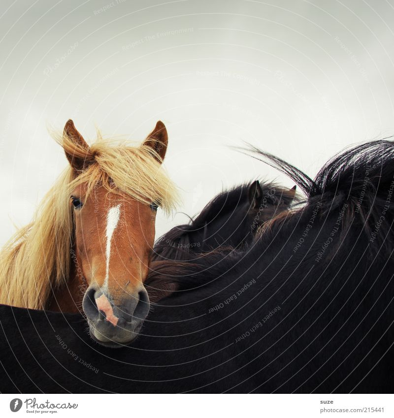Hinterm Rücken Tier schwarz braun natürlich Wind wild Wildtier warten stehen ästhetisch niedlich Pferd Freundlichkeit Neugier Tiergesicht tierisch