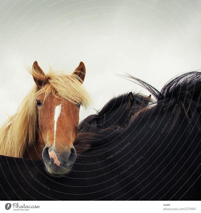 Hinterm Rücken Tier Wind Nutztier Wildtier Pferd Tiergesicht 1 stehen warten ästhetisch Freundlichkeit natürlich Neugier niedlich wild braun schwarz Mähne Ponys