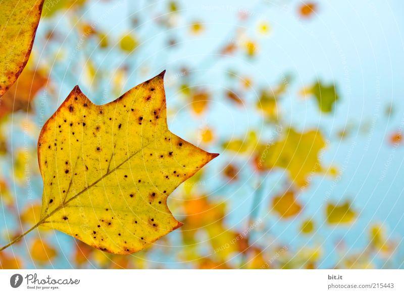 Frisch in den Herbst...(IV) Umwelt Himmel Wolkenloser Himmel Wind Pflanze Blatt blau gelb gold Blätterdach Herbstlaub herbstlich Herbstfärbung Herbstbeginn