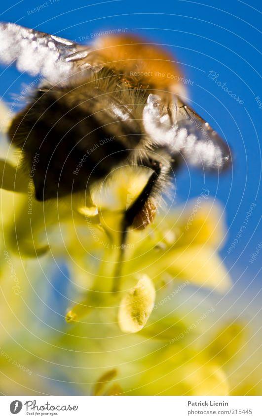 Hummel im Abflug Natur schön blau Pflanze Sommer Tier gelb Blüte Umwelt groß Hinterteil Flügel Wildtier Licht Makroaufnahme