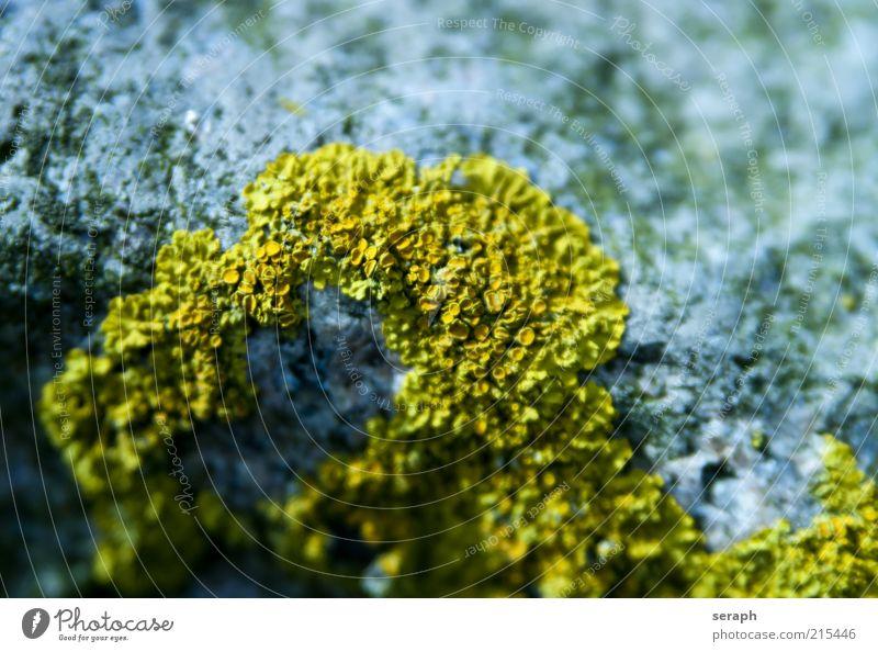 Gelbflechte Wachstum Stein Flechten Pflanze gelb Sporen Pilz Symbiose Erde Natur sporophyt pflanzlich Makroaufnahme Detailaufnahme geblümt sporophyte Blattgrün