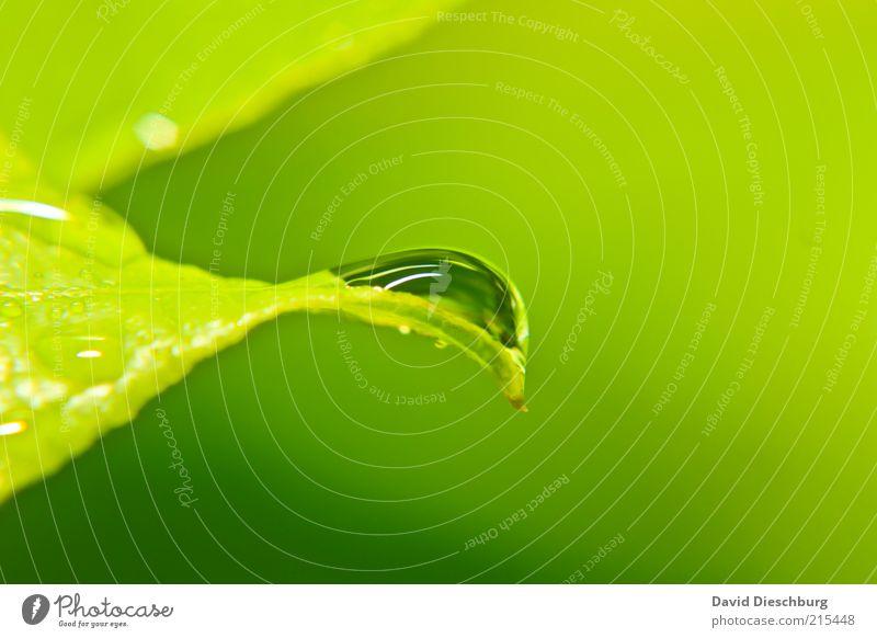 green & green Leben harmonisch Natur Pflanze Wasser Wassertropfen Frühling Sommer Wetter Regen Blatt Grünpflanze grün nass Tau feucht glänzend rund Farbfoto