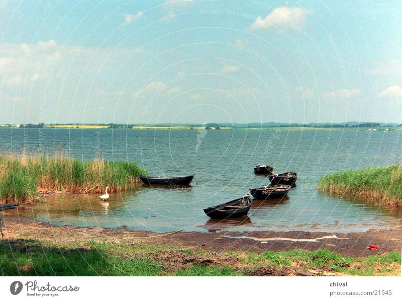 Boddenlandschaft Meer See Schwan Wasserfahrzeug Sumpf Schilfrohr Himmel Ferne