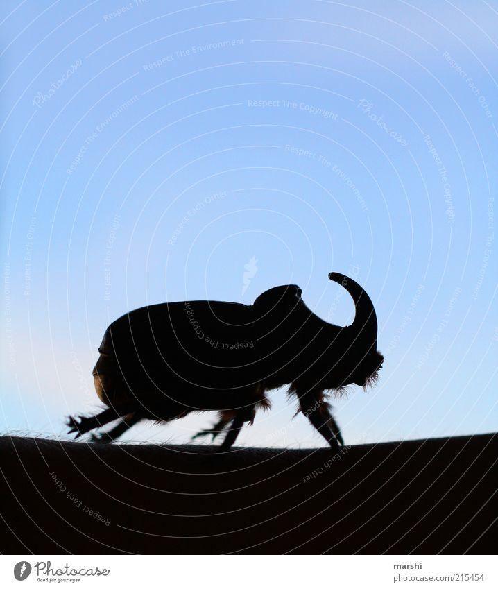 Nashornkäfer Tier Käfer 1 blau schwarz unheimlich Insekt Himmel Schatten Horn Farbfoto Außenaufnahme Menschenleer Beine Ganzkörperaufnahme Silhouette