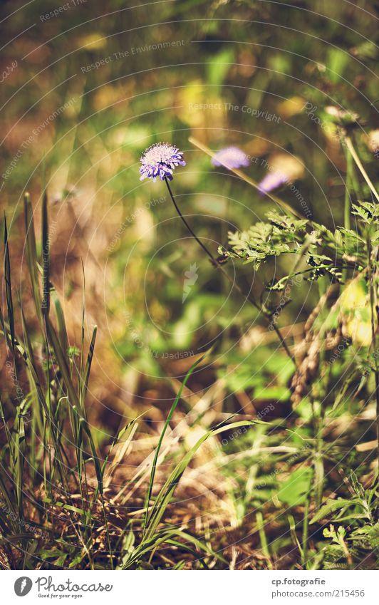 Einzelgänger Natur schön Blume Pflanze Sommer Wiese Herbst Blüte Gras Umwelt violett