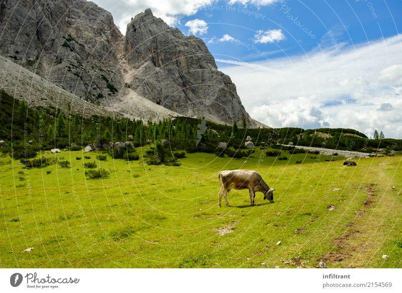 Dolomiten - Höhenweg 1 Ferien & Urlaub & Reisen Sommer Berge u. Gebirge wandern Natur Landschaft Wiese Felsen Alpen Tier Kuh Fressen ästhetisch frei natürlich