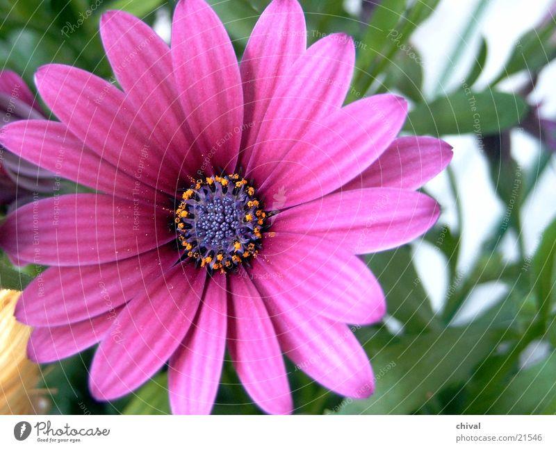 Blütenstern Blume Blüte Stern (Symbol) violett