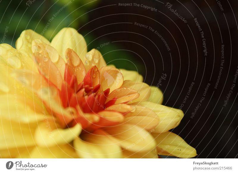 Und wenn der Regen kommt.. Natur Wasser schön Blume grün Pflanze rot schwarz gelb Herbst Blüte Regen Zufriedenheit Wetter nass Wassertropfen