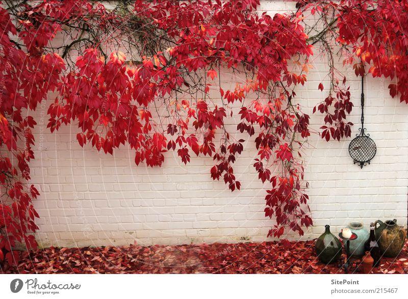Herbstwand weiß Pflanze rot Blatt Wand Garten Mauer Stimmung Wachstum Sträucher Wein Lebensmittel herbstlich Mauerpflanze Licht