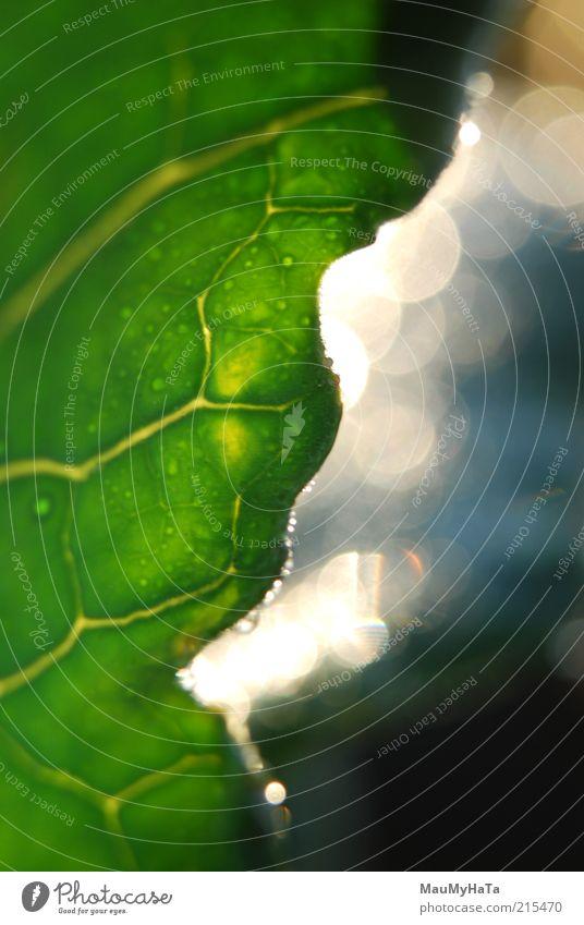 Grünes Blatt Bokeh Natur Pflanze Urelemente Feuer Wasser Wassertropfen Sonne Sonnenlicht Regen Gras frieren Blick warten Coolness dunkel authentisch elegant gut