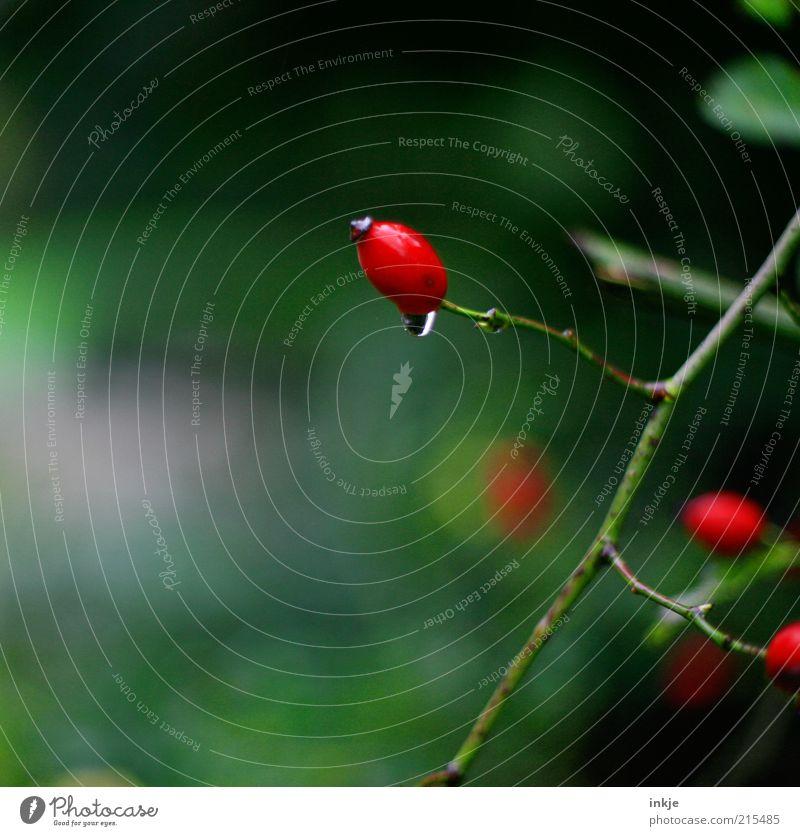 stiller Tropfen Natur grün rot Pflanze ruhig Erholung Umwelt Leben Herbst Regen Wetter nass frisch Wachstum Wassertropfen Duft
