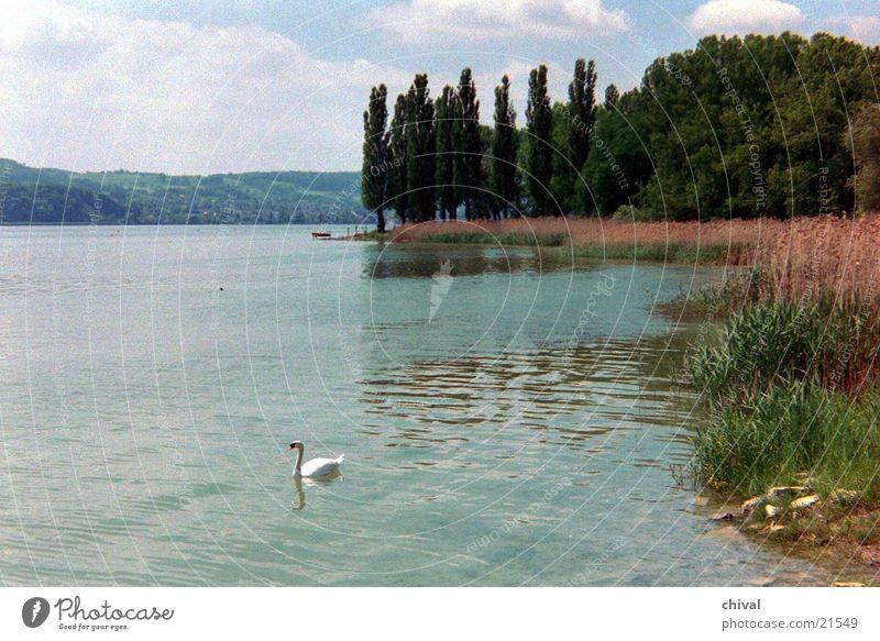 Mettnau See Schilfrohr Schwan Pappeln Küste