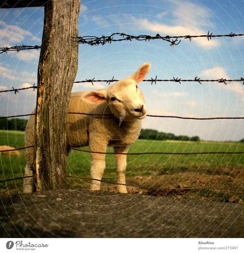 verlammt nochmal! Himmel weiß Wolken Tier Wiese Gras Holz Landschaft Metall Feld Umwelt stehen weich Kindheit niedlich Zaun