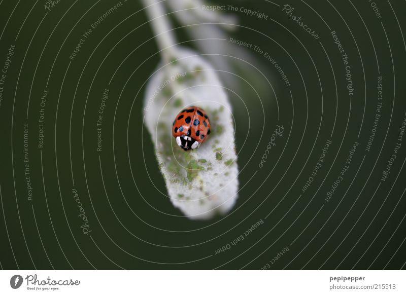 das grosse fressen Natur grün Pflanze rot Sommer Blatt Tier glänzend Flügel Käfer einzeln gepunktet Makroaufnahme