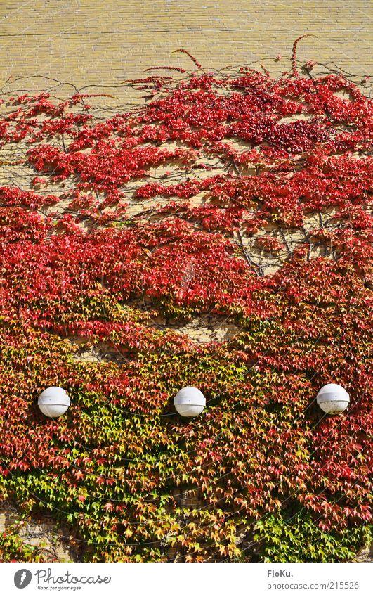 Lampen im Laubfeuer Pflanze rot Blatt Lampe Herbst Wand Mauer Gebäude Wärme Fassade Wachstum rund Bauwerk Ranke bewachsen