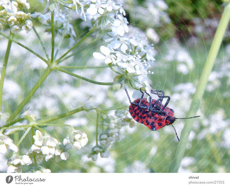 Akrobat Wiese Wiesenkerbel rot Käfer Büte schwarz getupft