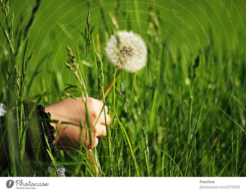 Oh eine Pusteblume! Mensch Kind Natur Hand weiß Blume grün Pflanze Sommer Wiese Gras hell Umwelt natürlich Kindheit Löwenzahn