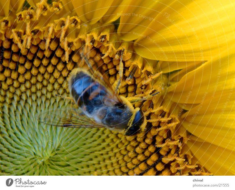 Bestäubung gelb Insekt Biene Sonnenblume