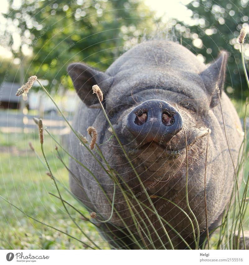 grmpf ... grmpf ... Umwelt Natur Pflanze Tier Sommer Schönes Wetter Baum Gras Wiese Nutztier Tiergesicht Hängebauchschwein Schweinschnauze Schnauze Ohr 1 Blick