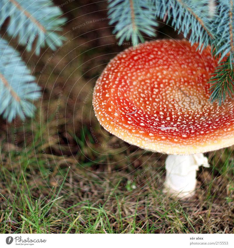 Pilzhut Natur grün weiß schön Pflanze rot Wald Ernährung Gras Glück ästhetisch Wachstum natürlich bedrohlich Rasen weich