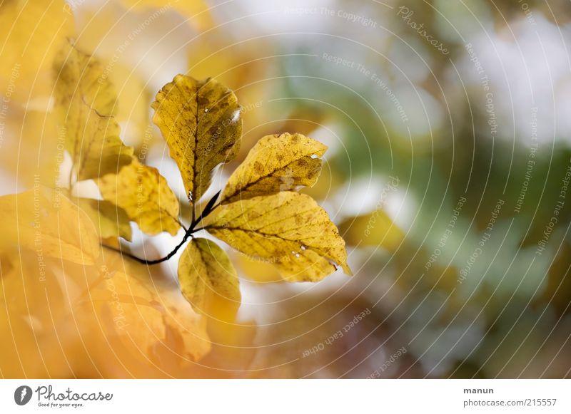 give me 5 Natur Baum Blatt gelb Herbst Umwelt gold authentisch Ende Wandel & Veränderung Vergänglichkeit außergewöhnlich Herbstlaub herbstlich Herbstfärbung