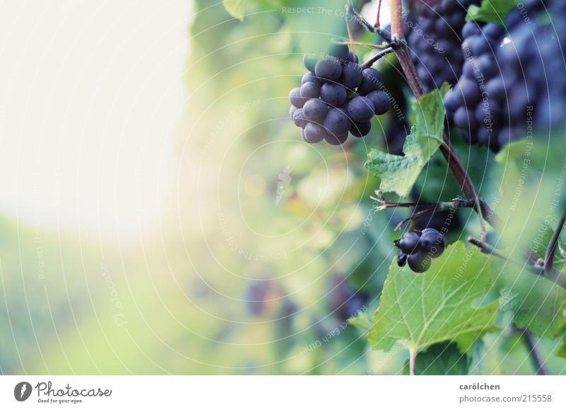 Wein Natur blau Pflanze Blatt Herbst Umwelt Frucht violett reif Weintrauben Weinberg Beeren Nutzpflanze Weinbau