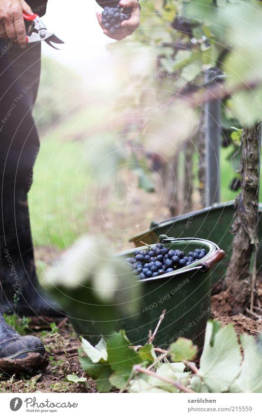 Lese Natur Landschaft Herbst Pflanze grün Weinlese Eimer geschnitten Landwirtschaft Weinbau Weintrauben Farbfoto Außenaufnahme Detailaufnahme Textfreiraum Mitte