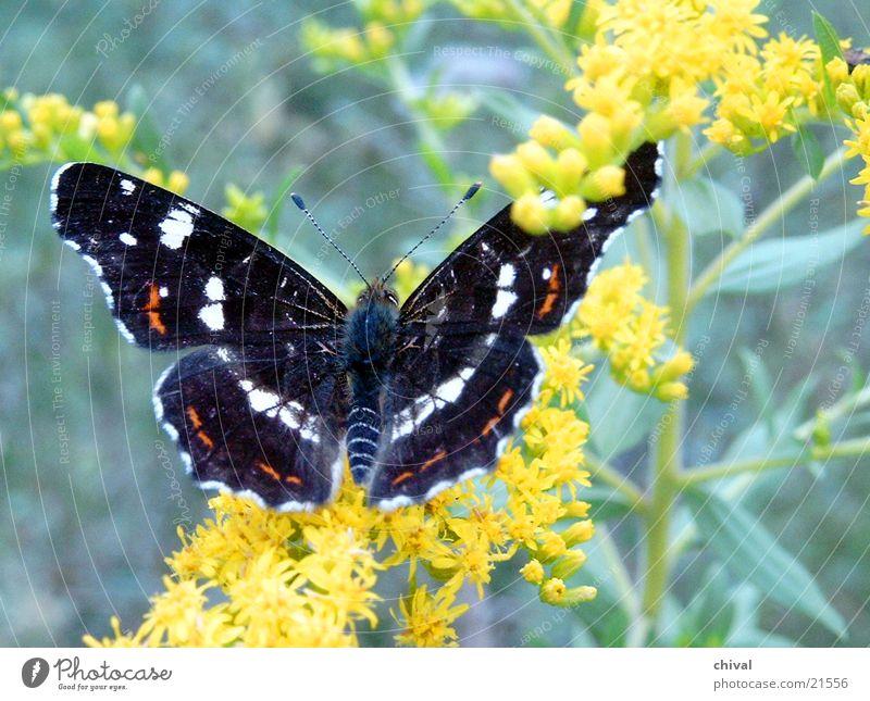 Antenne Butterfly Blume Blüte Schmetterling Landkärtchen