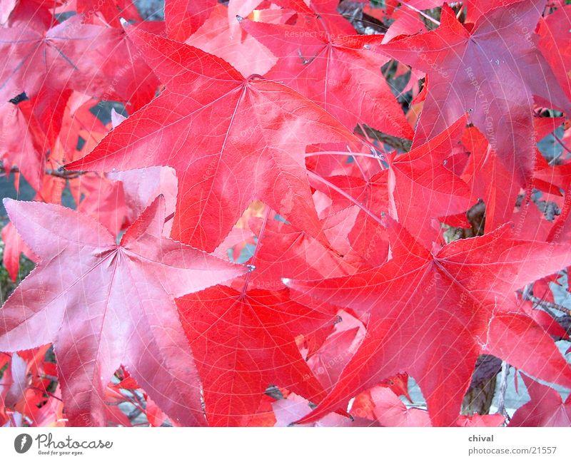 Herbstblätter Blatt Färbung rot Indian Summer